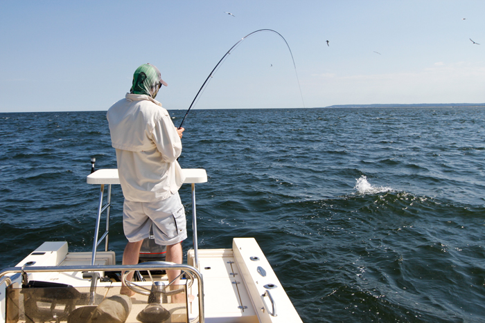 Photos of the day fat jersey stripers on big bunker flies for Bunker up fishing