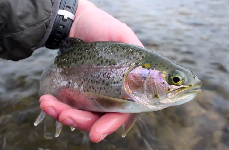 Video winter trout iowa style orvis news for Fly fishing iowa