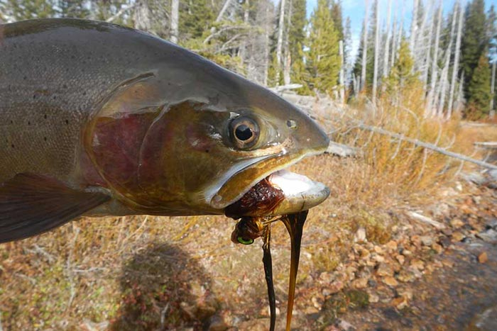 Pro tips fishing yellowstone national park in october for Orvis fly fishing 101