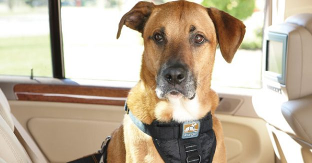 Does Your State Require Dogs Be Harnessed in the Car?