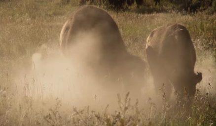 12.07--Plains Bison