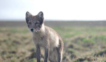12.19--Arctic Fox