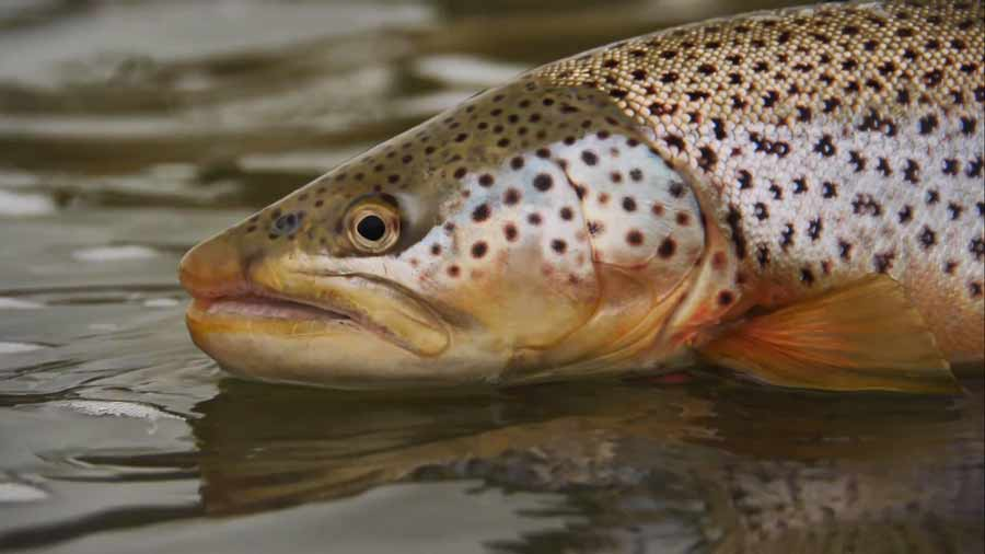 Master Class Monday: How to Prospect with Streamers on Big Rivers