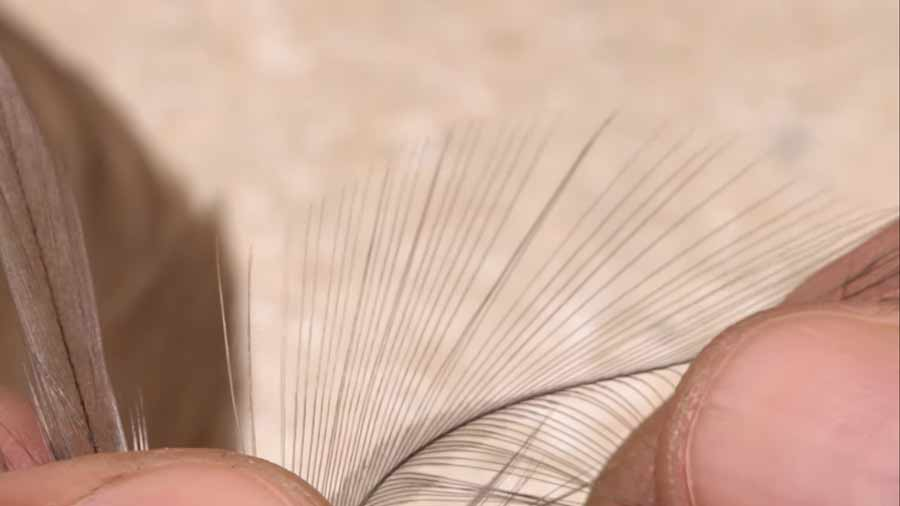 Video: How to Find Hackle Fibers for Tails