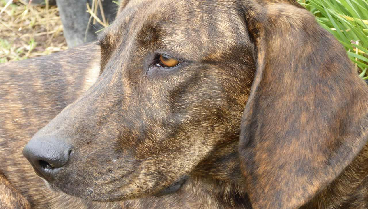 North Carolina - Plott Hound