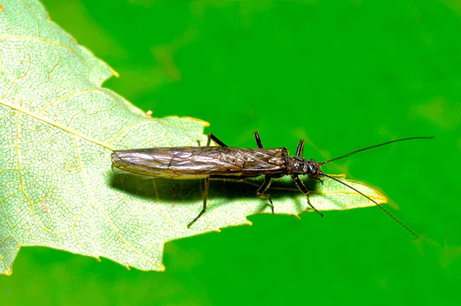 Natural Reflections: Early Brown Stonefly Adults