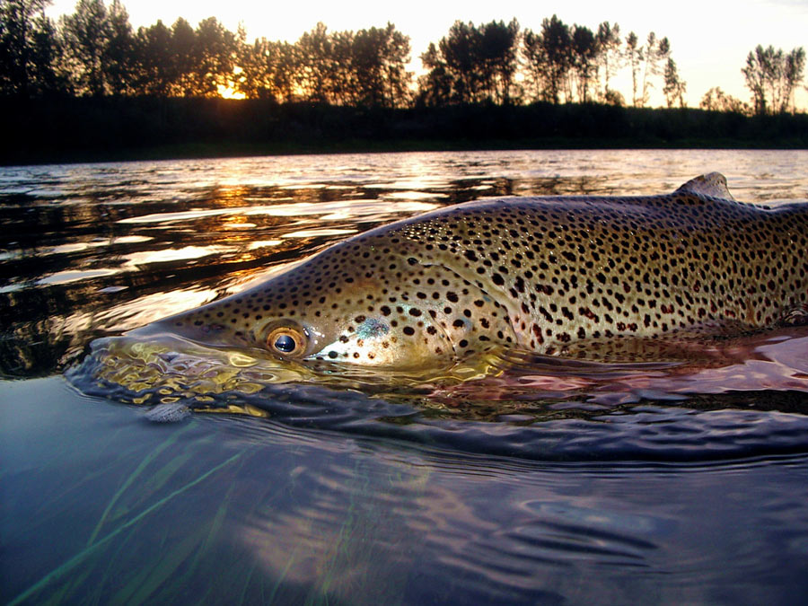 Pro Tips: How to Effectively Find and Catch Rising Trout in Tail-outs