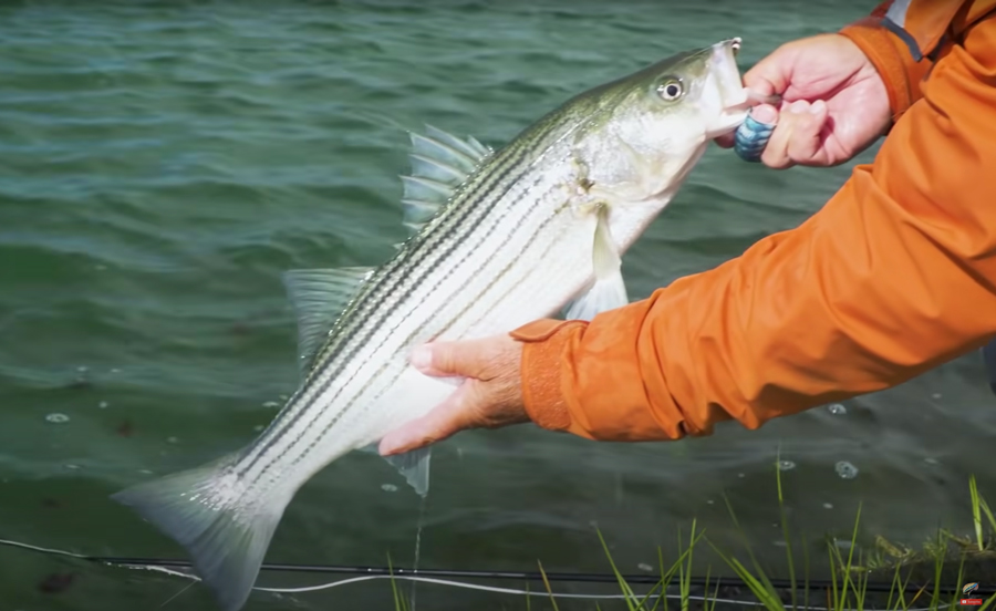 Video: How to Catch Striped Bass on the Fly